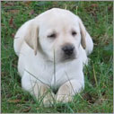 Mladiček Labradorja