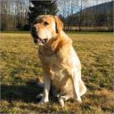 Odrasel Labrador
