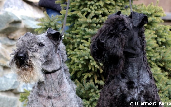 Kerry Blue terrier – opis pasme